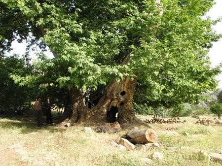 کهنسال ترین درخت هندوستان ایران در فهرست میراث طبیعی کشور به ثبت رسید